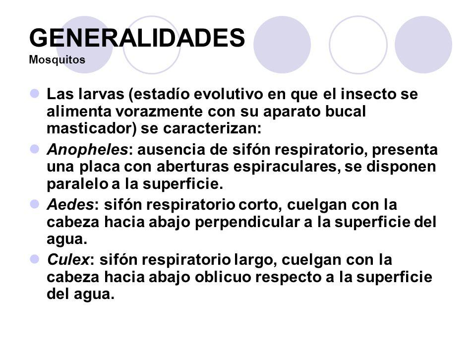 GENERALIDADES Mosquitos Las larvas (estadío evolutivo en que el insecto se alimenta vorazmente con su aparato bucal masticador) se caracterizan: Anoph