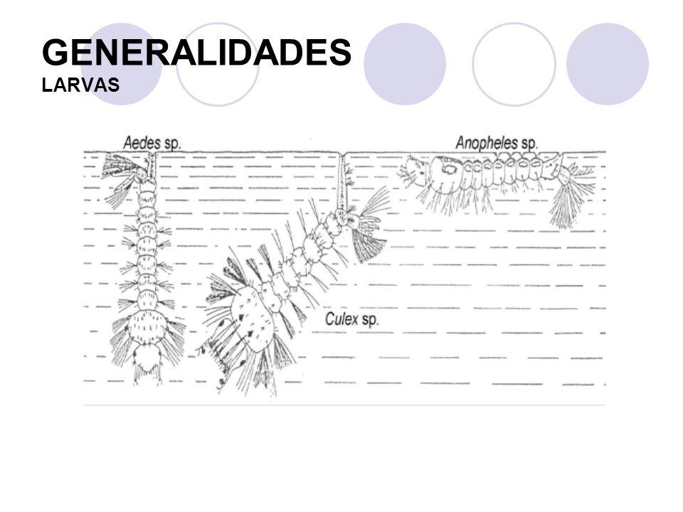 GENERALIDADES PUPA Las pupas (estadío evolutivo en el que el insecto NO se alimenta) se diferencian por las características de las trompetillas: Anopheles: cortas.