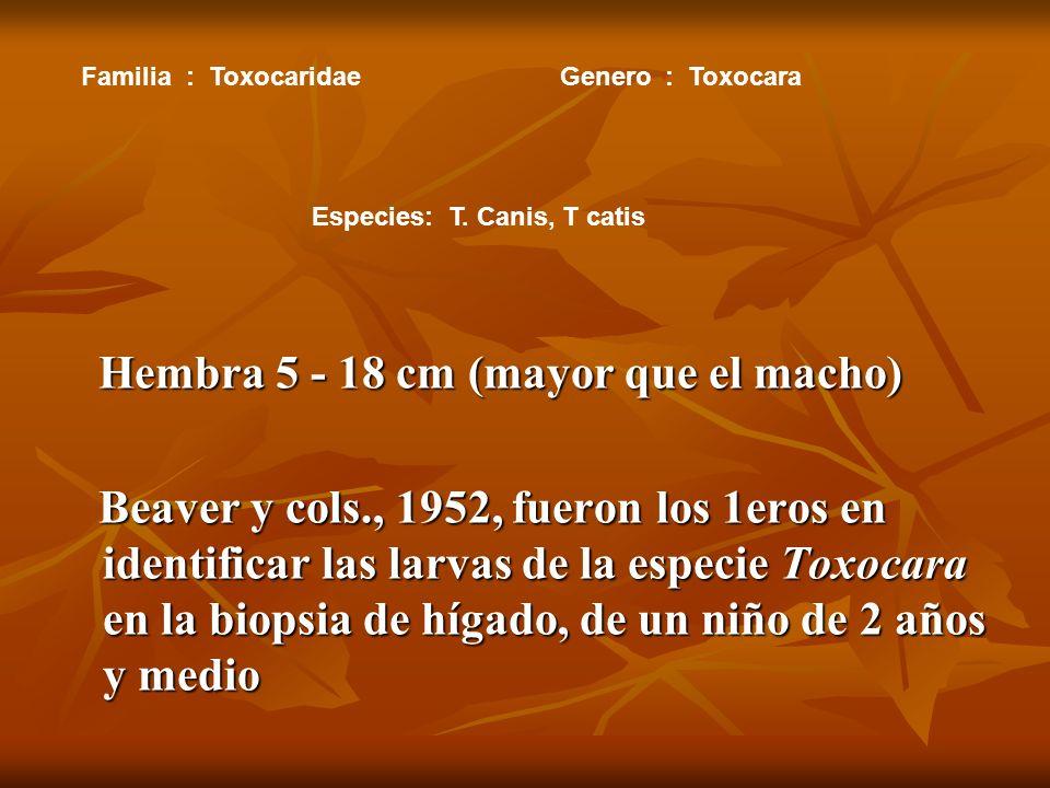 Hembra 5 - 18 cm (mayor que el macho) Hembra 5 - 18 cm (mayor que el macho) Beaver y cols., 1952, fueron los 1eros en identificar las larvas de la especie Toxocara en la biopsia de hígado, de un niño de 2 años y medio Beaver y cols., 1952, fueron los 1eros en identificar las larvas de la especie Toxocara en la biopsia de hígado, de un niño de 2 años y medio Familia: ToxocaridaeGenero: Toxocara Especies: T.