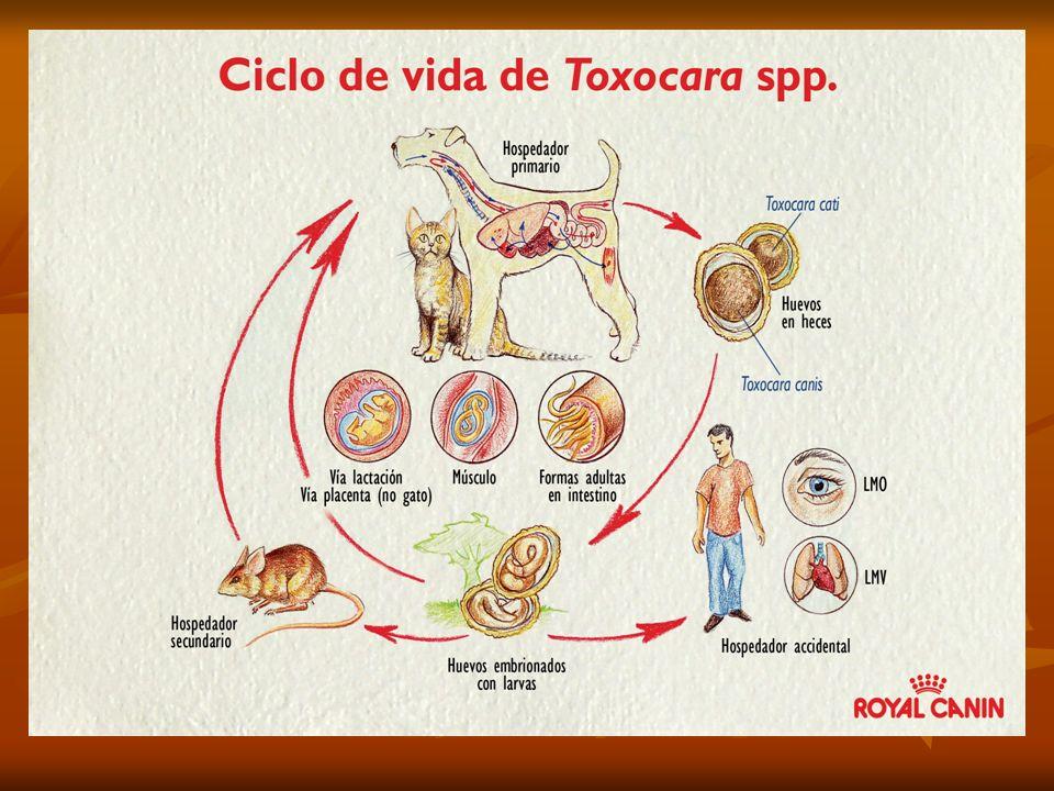 Infección en humanos suele desaparecer sin Tto de 6 a 18 meses.