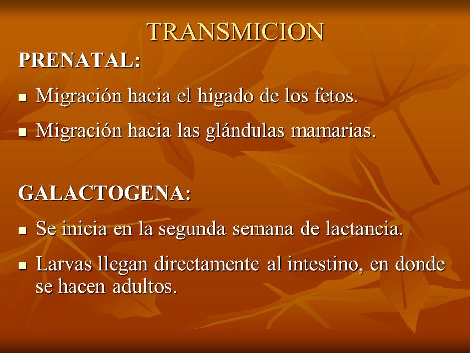 TRANSMICION PRENATAL: Migración hacia el hígado de los fetos.