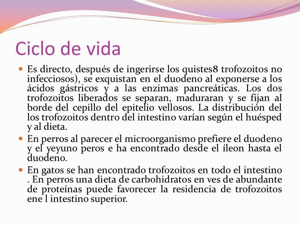Es directo, después de ingerirse los quistes8 trofozoitos no infecciosos), se exquistan en el duodeno al exponerse a los ácidos gástricos y a las enzi