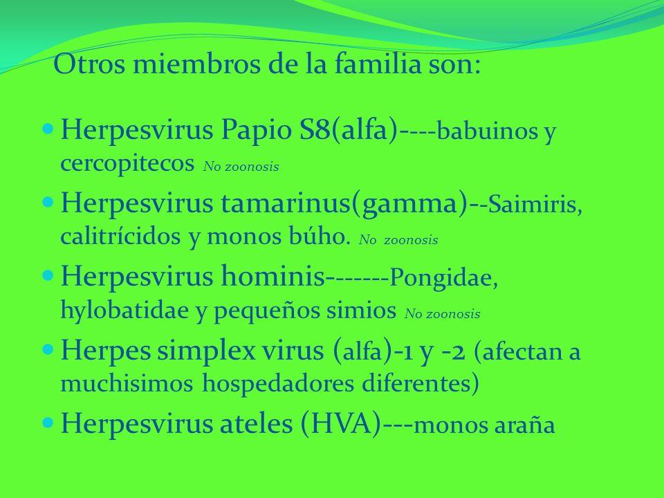 Otros miembros de la familia son: Herpesvirus Papio S8(alfa)- ---babuinos y cercopitecos No zoonosis Herpesvirus tamarinus(gamma)- -Saimiris, calitríc