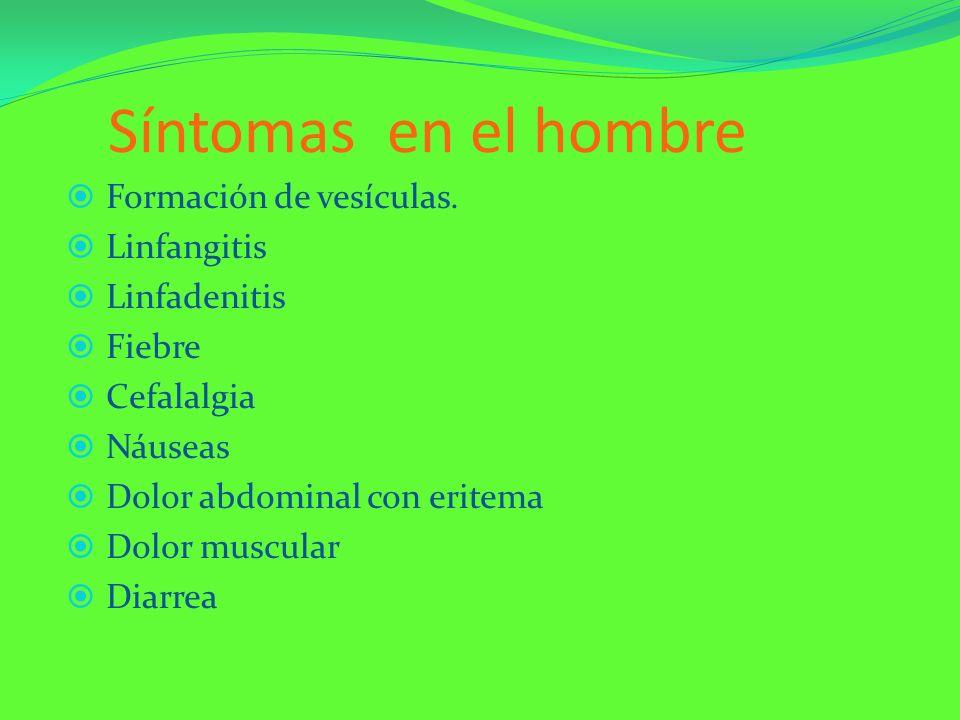 Síntomas en el hombre Formación de vesículas. Linfangitis Linfadenitis Fiebre Cefalalgia Náuseas Dolor abdominal con eritema Dolor muscular Diarrea