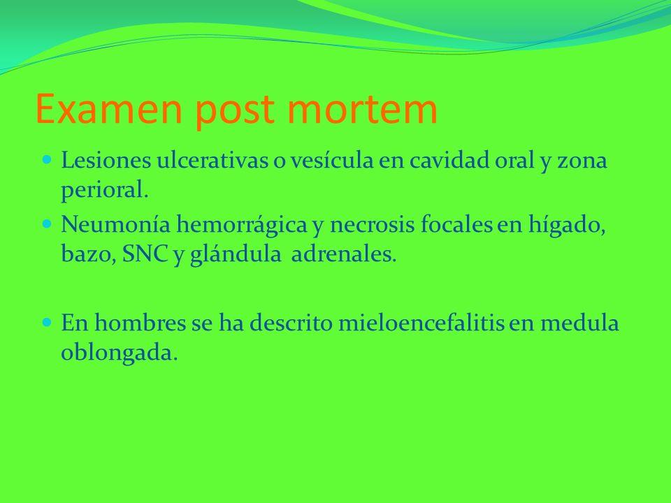 Examen post mortem Lesiones ulcerativas o vesícula en cavidad oral y zona perioral. Neumonía hemorrágica y necrosis focales en hígado, bazo, SNC y glá