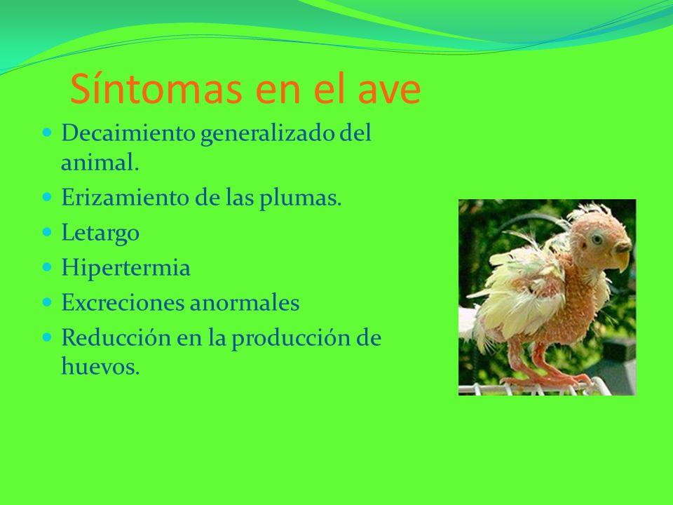 Síntomas en el ave Decaimiento generalizado del animal. Erizamiento de las plumas. Letargo Hipertermia Excreciones anormales Reducción en la producció