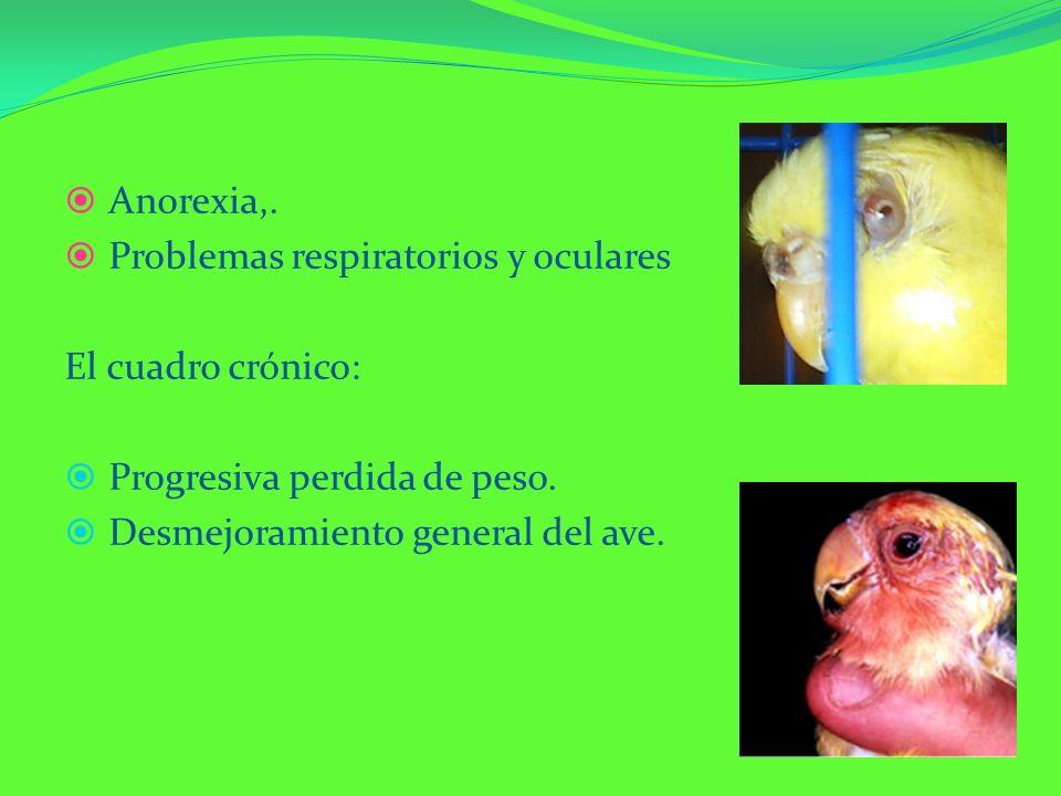 Anorexia,. Problemas respiratorios y oculares El cuadro crónico: Progresiva perdida de peso. Desmejoramiento general del ave.