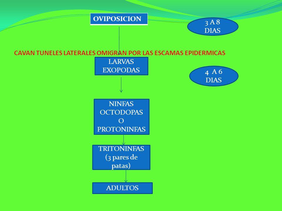 CAVAN TUNELES LATERALES OMIGRAN POR LAS ESCAMAS EPIDERMICAS OVIPOSICION LARVAS EXOPODAS 3 A 8 DIAS 4 A 6 DIAS NINFAS OCTODOPAS O PROTONINFAS TRITONINF