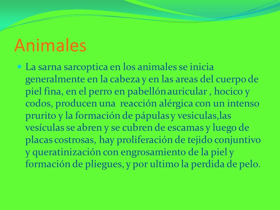 Animales La sarna sarcoptica en los animales se inicia generalmente en la cabeza y en las areas del cuerpo de piel fina, en el perro en pabellón auric