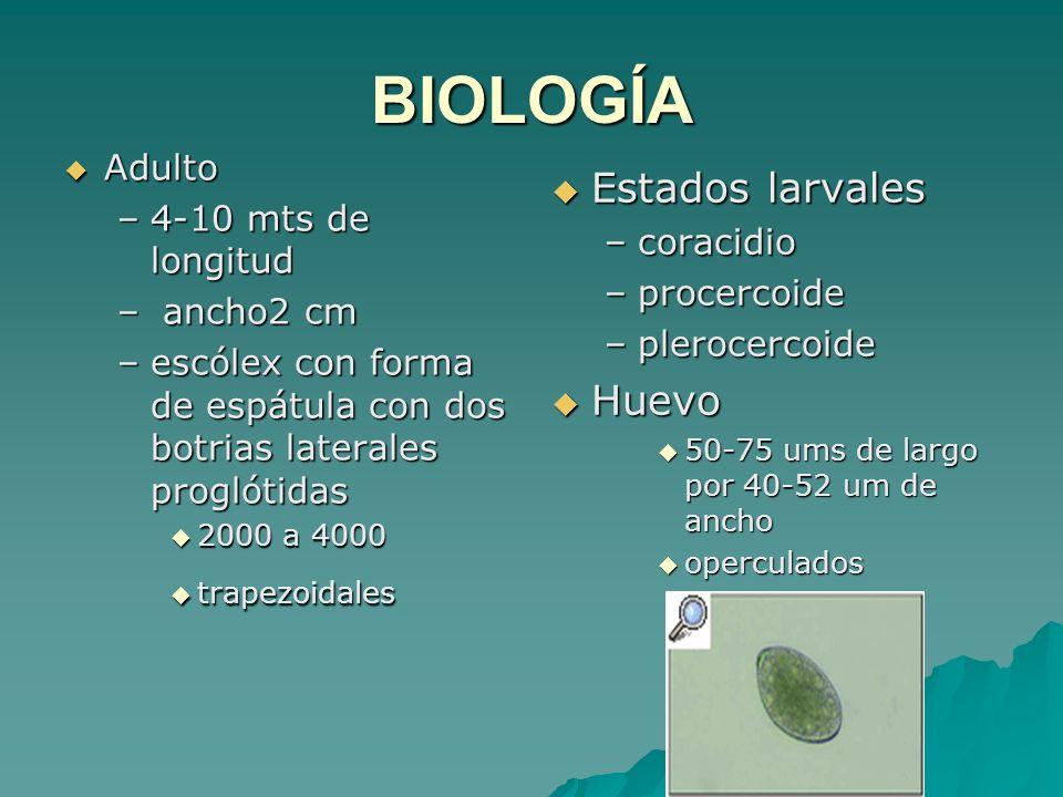 BIOLOGÍA Adulto Adulto –4-10 mts de longitud – ancho2 cm –escólex con forma de espátula con dos botrias laterales proglótidas 2000 a 4000 2000 a 4000