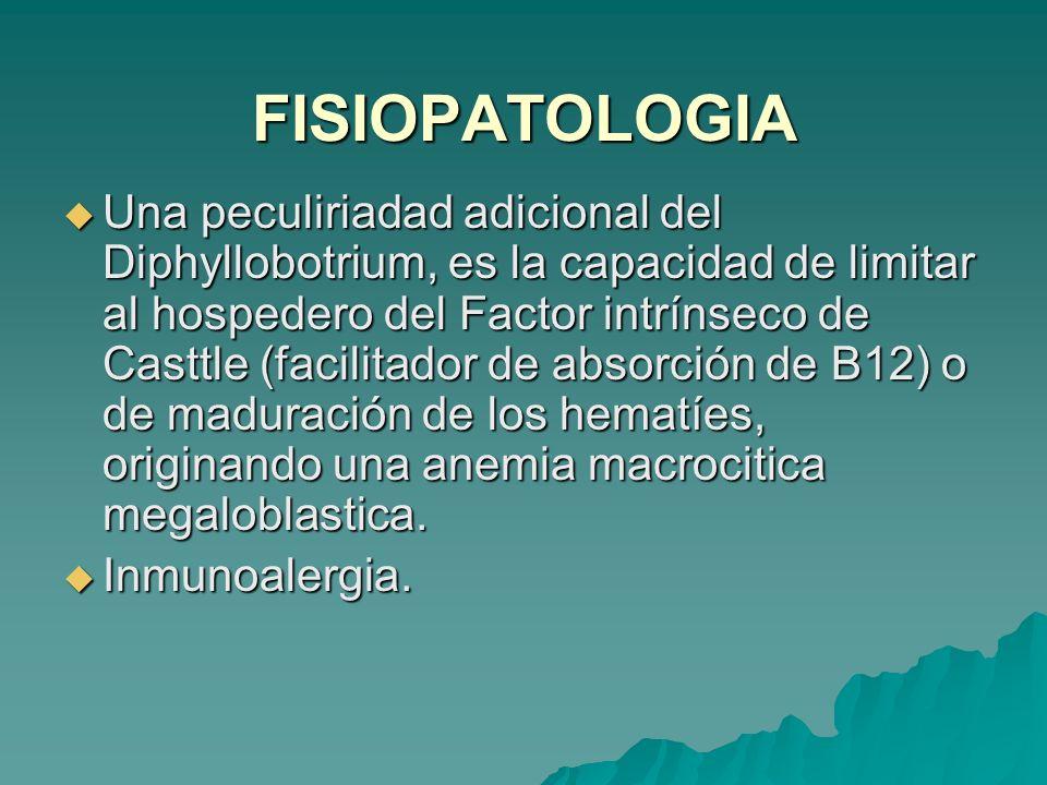 FISIOPATOLOGIA Una peculiriadad adicional del Diphyllobotrium, es la capacidad de limitar al hospedero del Factor intrínseco de Casttle (facilitador d