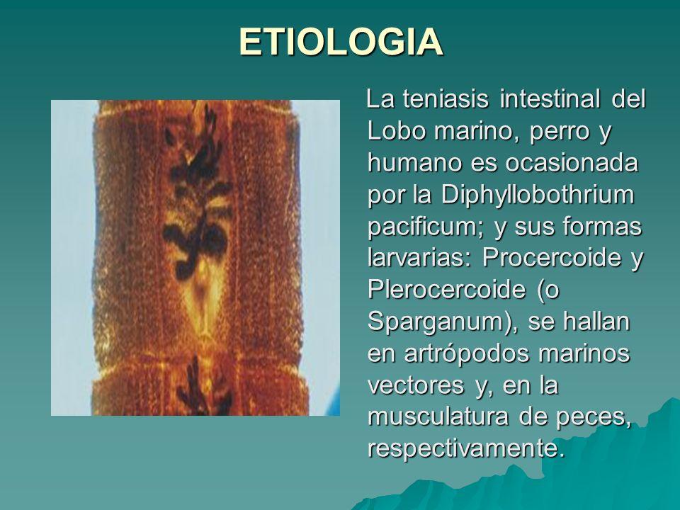 ETIOLOGIA La teniasis intestinal del Lobo marino, perro y humano es ocasionada por la Diphyllobothrium pacificum; y sus formas larvarias: Procercoide
