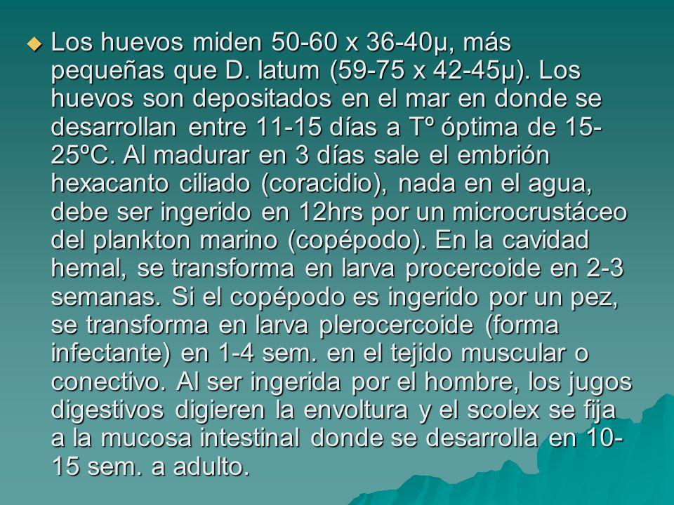 Los huevos miden 50-60 x 36-40µ, más pequeñas que D. latum (59-75 x 42-45µ). Los huevos son depositados en el mar en donde se desarrollan entre 11-15