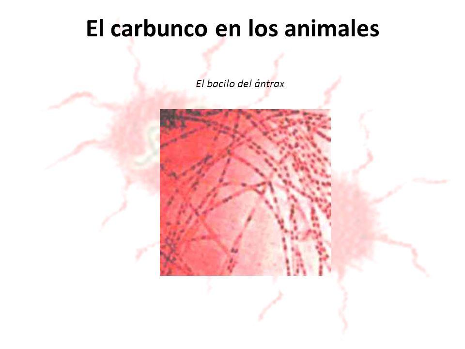 El carbunco en los animales El bacilo del ántrax