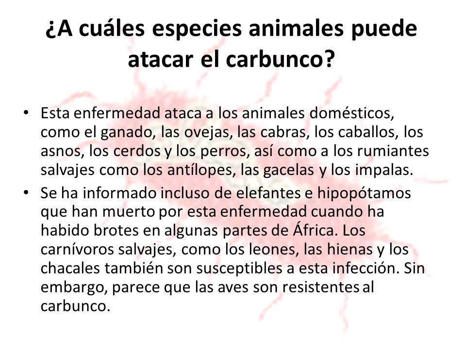 ¿A cuáles especies animales puede atacar el carbunco? Esta enfermedad ataca a los animales domésticos, como el ganado, las ovejas, las cabras, los cab