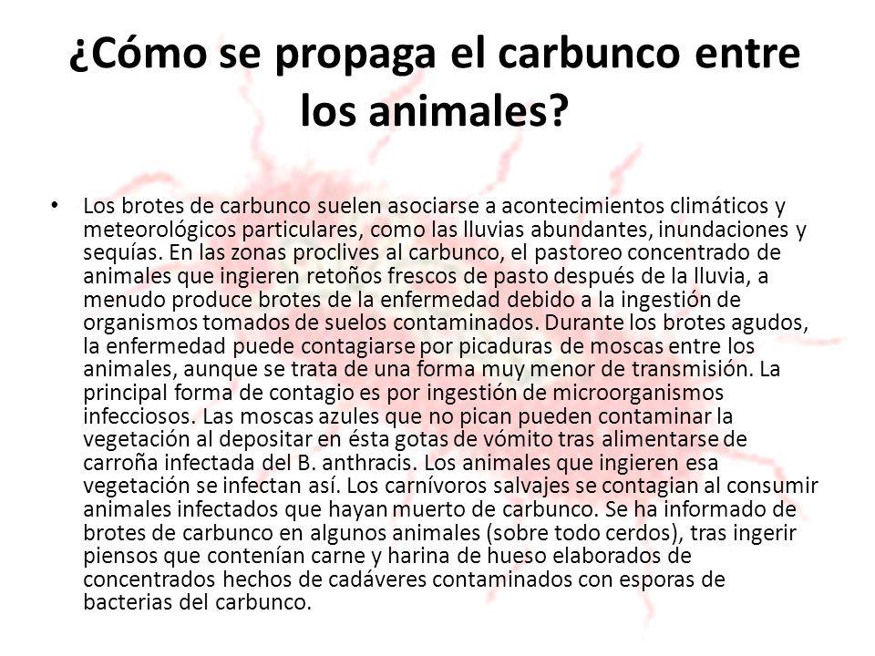 ¿Cómo se propaga el carbunco entre los animales? Los brotes de carbunco suelen asociarse a acontecimientos climáticos y meteorológicos particulares, c