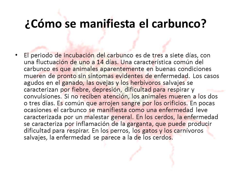 ¿Cómo se manifiesta el carbunco? El periodo de incubación del carbunco es de tres a siete días, con una fluctuación de uno a 14 días. Una característi