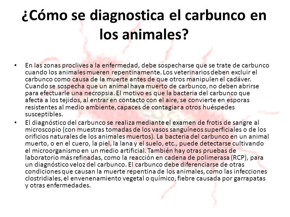 ¿Cómo se diagnostica el carbunco en los animales? En las zonas proclives a la enfermedad, debe sospecharse que se trate de carbunco cuando los animale