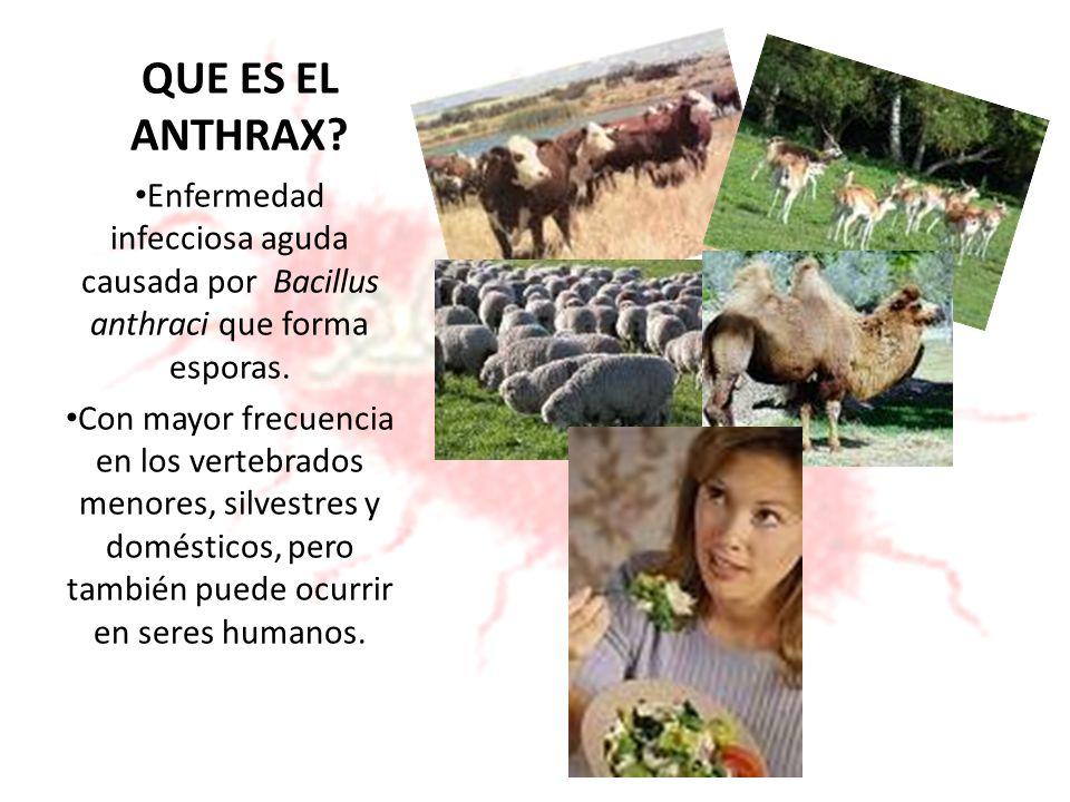 Carbunco o Ánthrax El carbunco (enfermedad de los animales herbívoros, ovinos y bovinos, equinos, porcinos y caprinos) es causado por el B.