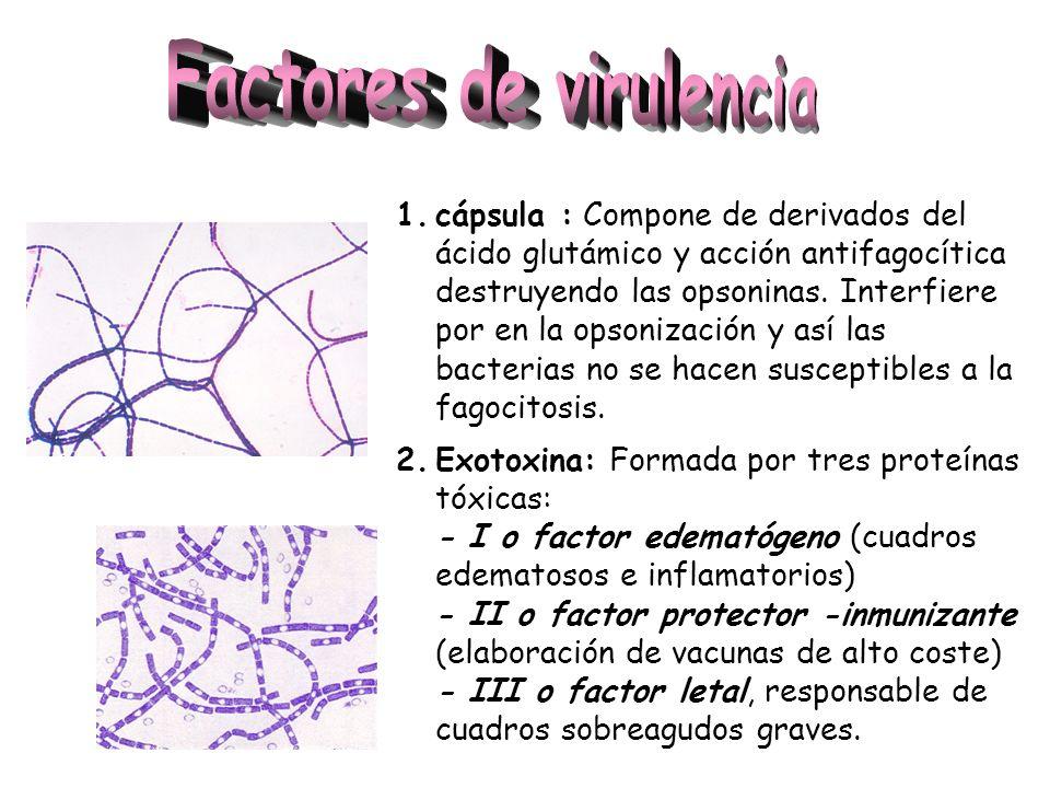 1.cápsula : Compone de derivados del ácido glutámico y acción antifagocítica destruyendo las opsoninas. Interfiere por en la opsonización y así las ba