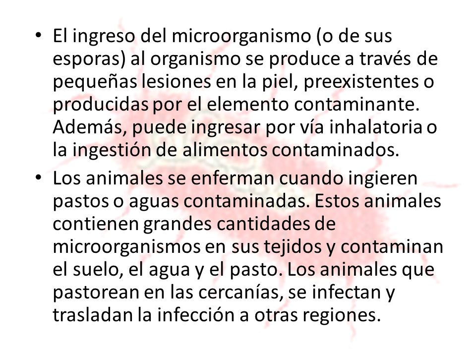 El ingreso del microorganismo (o de sus esporas) al organismo se produce a través de pequeñas lesiones en la piel, preexistentes o producidas por el e