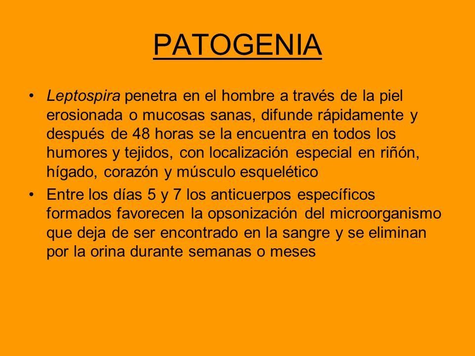 PATOGENIA Leptospira penetra en el hombre a través de la piel erosionada o mucosas sanas, difunde rápidamente y después de 48 horas se la encuentra en