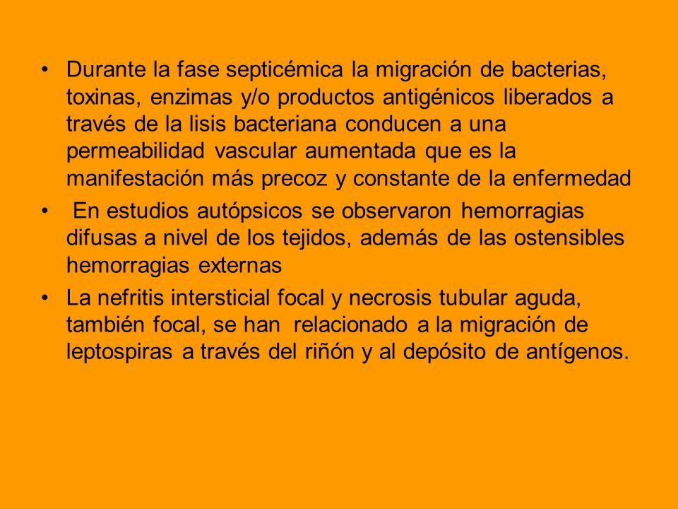 Durante la fase septicémica la migración de bacterias, toxinas, enzimas y/o productos antigénicos liberados a través de la lisis bacteriana conducen a