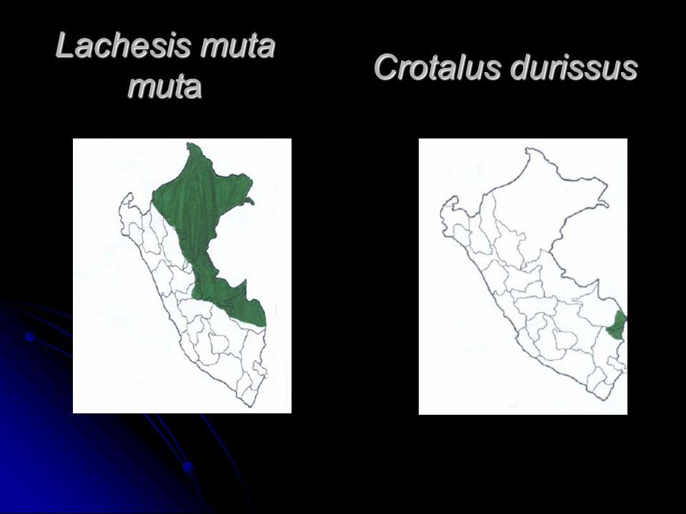 Lachesis muta muta Crotalus durissus