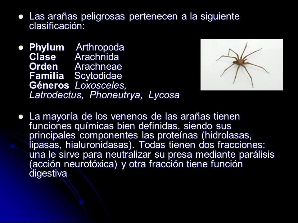 Las arañas peligrosas pertenecen a la siguiente clasificación: Las arañas peligrosas pertenecen a la siguiente clasificación: Phylum Arthropoda Clase