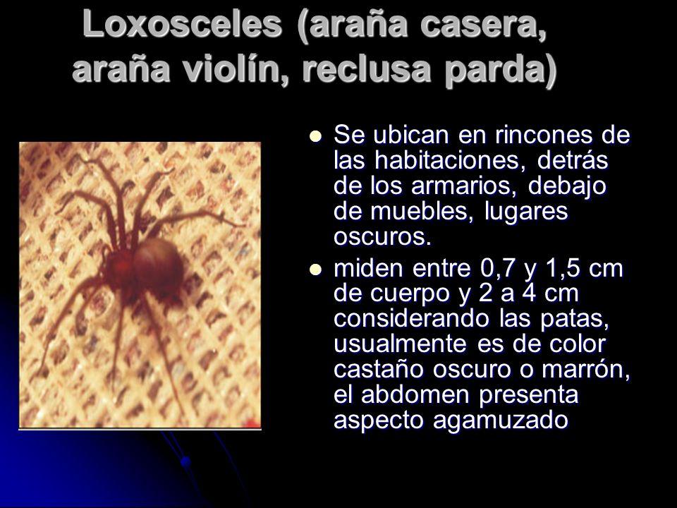 Loxosceles (araña casera, araña violín, reclusa parda) Se ubican en rincones de las habitaciones, detrás de los armarios, debajo de muebles, lugares o