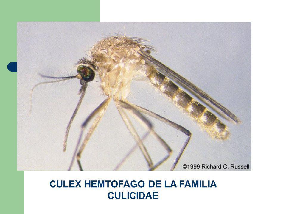 CULEX HEMTOFAGO DE LA FAMILIA CULICIDAE
