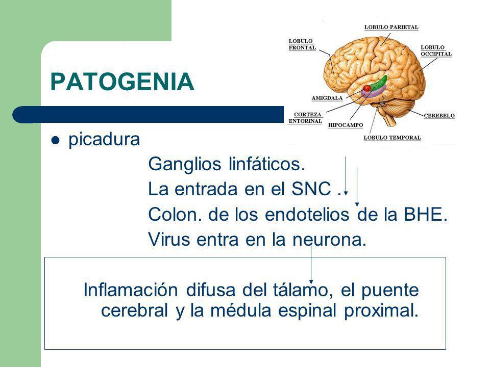 PATOGENIA picadura Ganglios linfáticos. La entrada en el SNC. Colon. de los endotelios de la BHE. Virus entra en la neurona. Inflamación difusa del tá