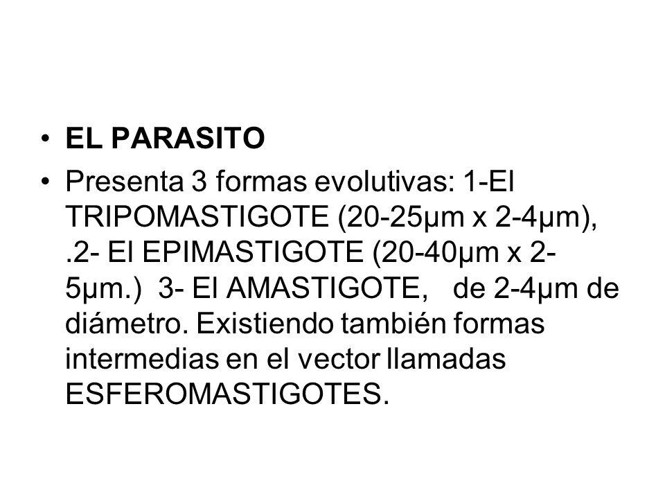 EL PARASITO Presenta 3 formas evolutivas: 1-El TRIPOMASTIGOTE (20-25µm x 2-4µm),.2- El EPIMASTIGOTE (20-40µm x 2- 5µm.) 3- El AMASTIGOTE, de 2-4µm de