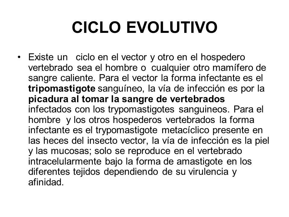 CICLO EVOLUTIVO Existe un ciclo en el vector y otro en el hospedero vertebrado sea el hombre o cualquier otro mamífero de sangre caliente. Para el vec