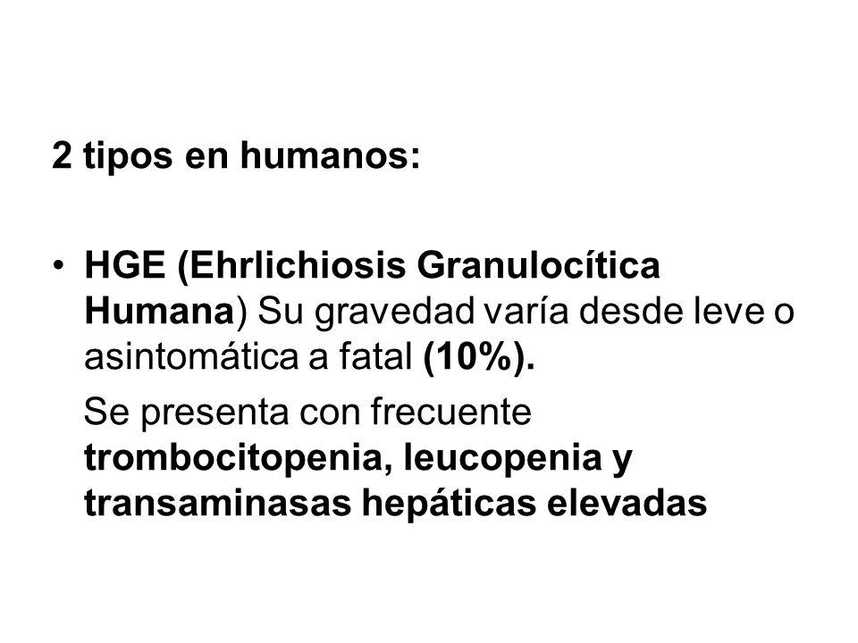 2 tipos en humanos: HGE (Ehrlichiosis Granulocítica Humana) Su gravedad varía desde leve o asintomática a fatal (10%). Se presenta con frecuente tromb