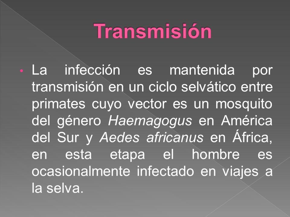 La infección es mantenida por transmisión en un ciclo selvático entre primates cuyo vector es un mosquito del género Haemagogus en América del Sur y A
