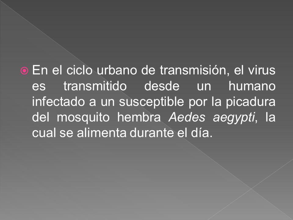 En el ciclo urbano de transmisión, el virus es transmitido desde un humano infectado a un susceptible por la picadura del mosquito hembra Aedes aegypt