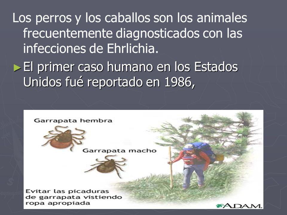 Los perros y los caballos son los animales frecuentemente diagnosticados con las infecciones de Ehrlichia. El primer caso humano en los Estados Unidos