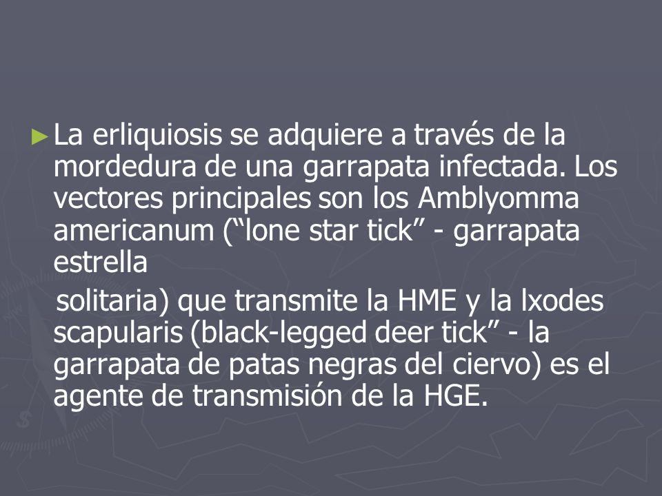 La erliquiosis se adquiere a través de la mordedura de una garrapata infectada. Los vectores principales son los Amblyomma americanum (lone star tick