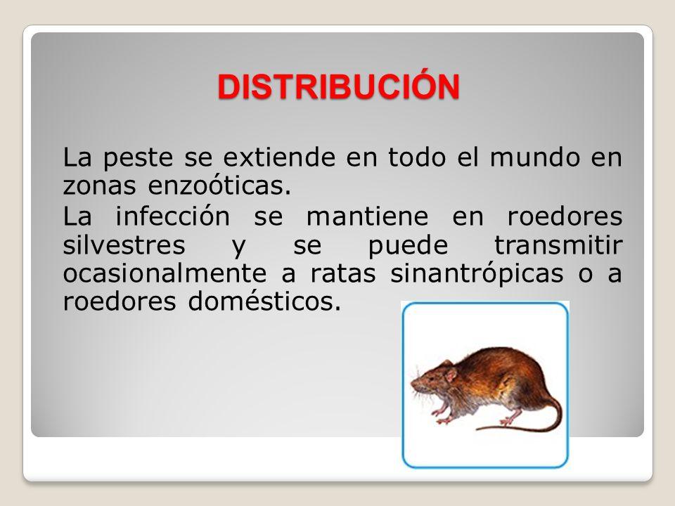 DISTRIBUCIÓN La peste se extiende en todo el mundo en zonas enzoóticas. La infección se mantiene en roedores silvestres y se puede transmitir ocasiona