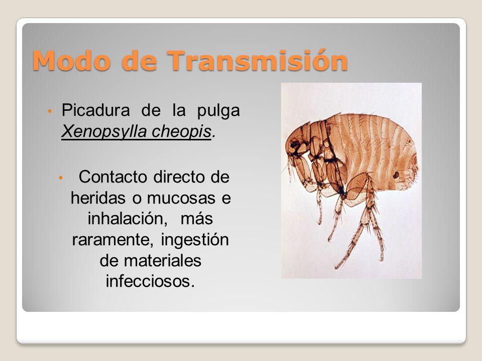 Modo de Transmisión Picadura de la pulga Xenopsylla cheopis. Contacto directo de heridas o mucosas e inhalación, más raramente, ingestión de materiale