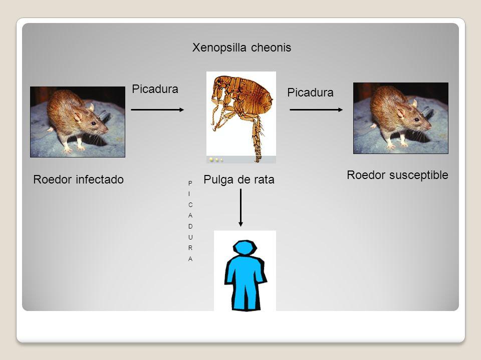 Xenopsilla cheonis Picadura Roedor susceptible Roedor infectado PICADURAPICADURA Pulga de rata