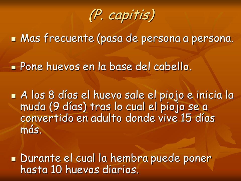 (P. capitis) Mas frecuente (pasa de persona a persona. Mas frecuente (pasa de persona a persona. Pone huevos en la base del cabello. Pone huevos en la