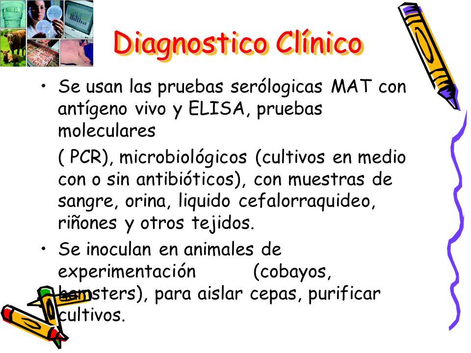 Se usan las pruebas serólogicas MAT con antígeno vivo y ELISA, pruebas moleculares ( PCR), microbiológicos (cultivos en medio con o sin antibióticos),