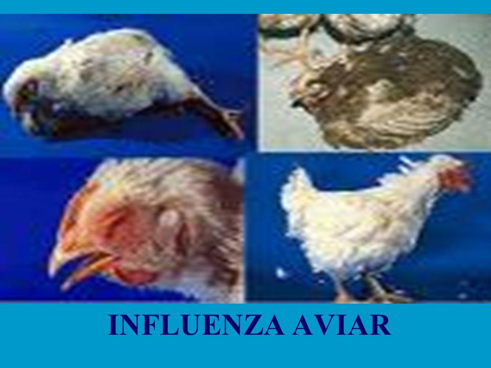 EPIDEMIOLOGÍA Altamente contagiosa Altamente contagiosa Es razonable suponer que todas las especies aviares son susceptibles a la infección Es razonable suponer que todas las especies aviares son susceptibles a la infección Distribución geográfica Los virus A de influenza no patógenos o ligeramente patógenos están presentes en todo el mundo.
