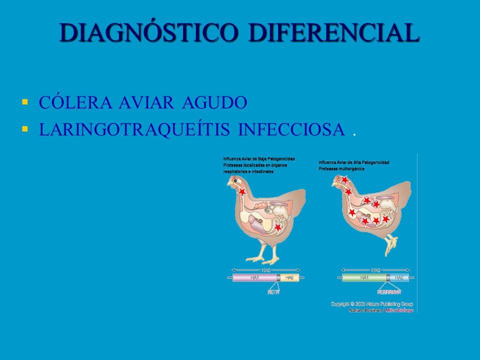 DIAGNÓSTICO DIFERENCIAL CÓLERA AVIAR AGUDO LARINGOTRAQUEÍTIS INFECCIOSA.