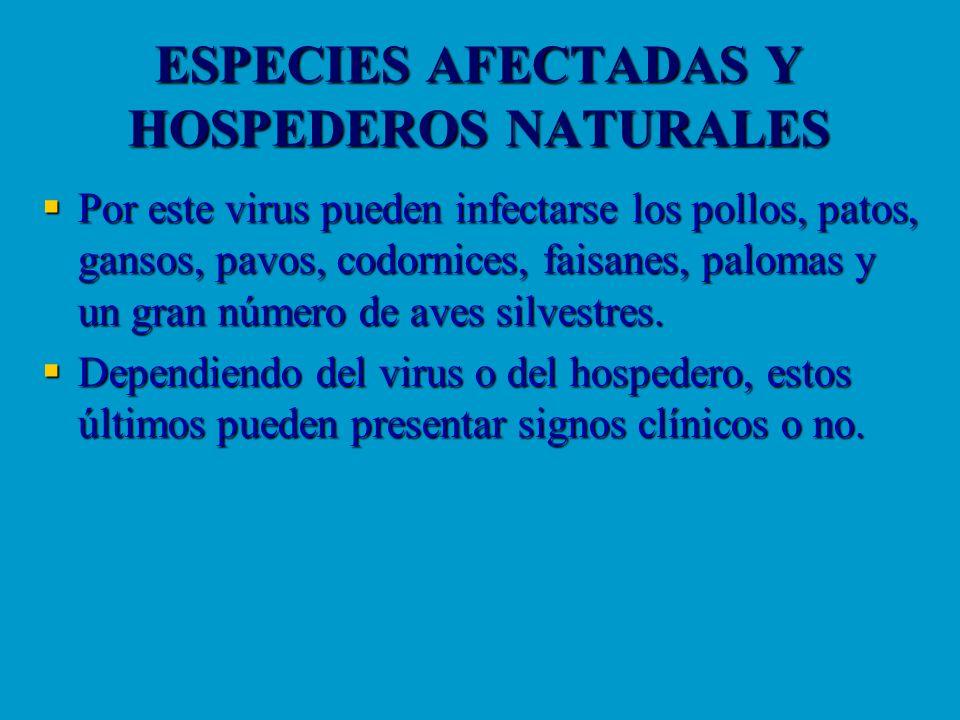 ESPECIES AFECTADAS Y HOSPEDEROS NATURALES Por este virus pueden infectarse los pollos, patos, gansos, pavos, codornices, faisanes, palomas y un gran n