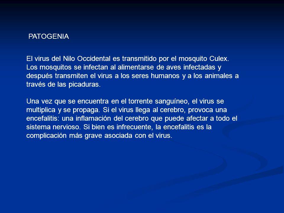 PATOGENIA El virus del Nilo Occidental es transmitido por el mosquito Culex. Los mosquitos se infectan al alimentarse de aves infectadas y después tra