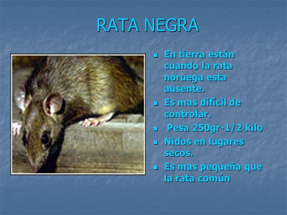 RATA NEGRA En tierra están cuando la rata noruega esta ausente. En tierra están cuando la rata noruega esta ausente. Es mas difícil de controlar. Es m