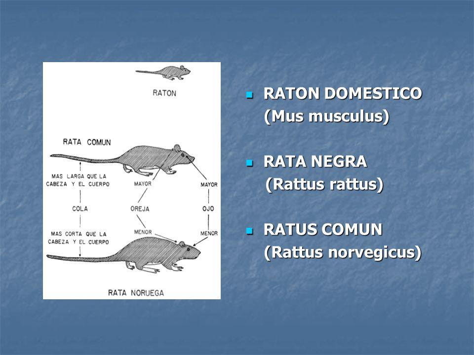 RATON DOMESTICO RATON DOMESTICO (Mus musculus) (Mus musculus) RATA NEGRA RATA NEGRA (Rattus rattus) (Rattus rattus) RATUS COMUN RATUS COMUN (Rattus no
